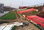 """南京一河堤变身""""开心农场"""""""