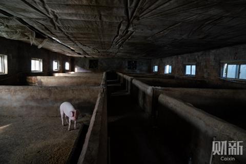 特稿|养猪业复产艰难 疫情第二波疑现地下疫苗