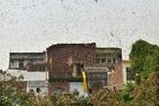 """印度遭遇严重蝗灾 居民区被蝗虫""""包围"""""""
