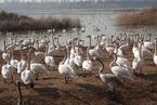 河南三门峡:数千只白天鹅湿地公园越冬