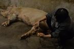 14岁猪坚强无法站立 饲养员称可能即将离去