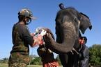 印度母狮感染新冠死亡后 28头大象接受预防性检测