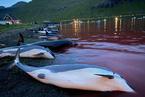 丹麦法罗群岛举行捕猎活动 近1500只白边海豚被屠杀